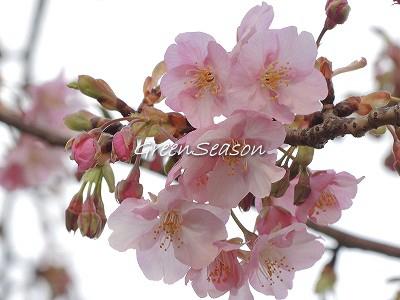 咲いていました カワヅザクラ