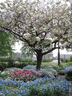キュウリグサと自由の広場の桜、最終