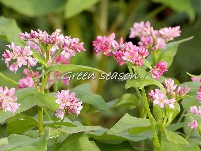 高嶺ルビーの花
