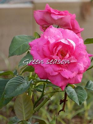 薔薇に癒されて、^^*