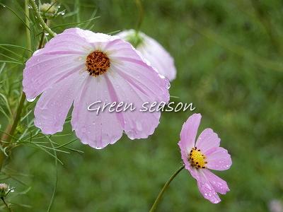 雨中に咲くコスモス